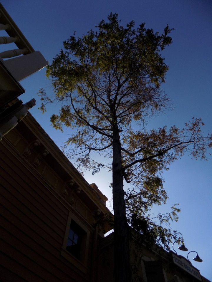 The Dawn Redwood thought to be extinct until 1946 and given to Bill Evans as a gift - planted in Disneyland near the Golden Horseshoe Revue