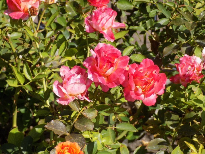 Beautiful roses named in honor of the 50th anniversary of Disneyland found near the Dumbo attraction in Fantasyland